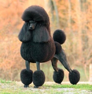 black poodle dog picture