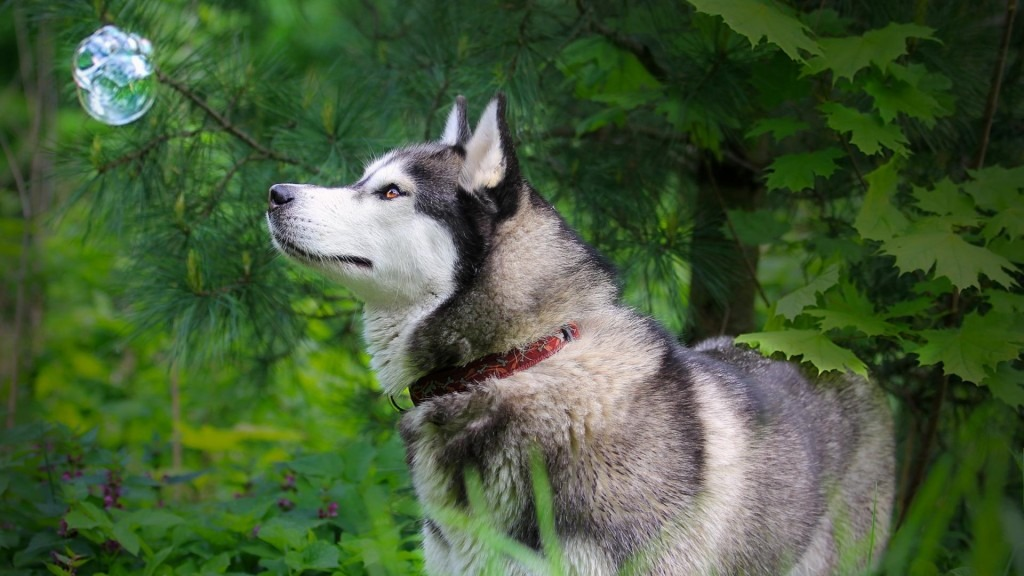 cute pictures of dogs husky