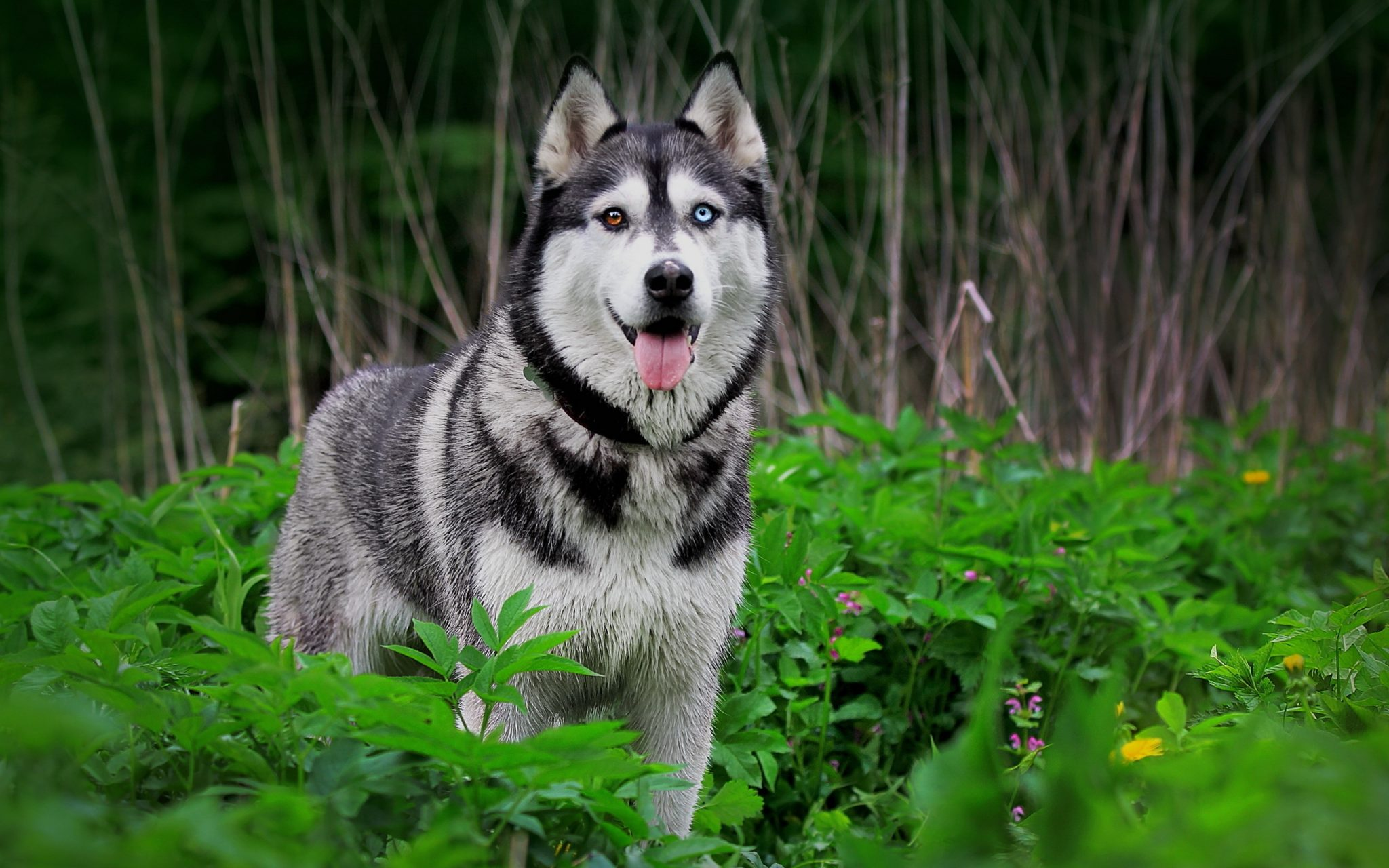 husky blue eyes pictures of dogs
