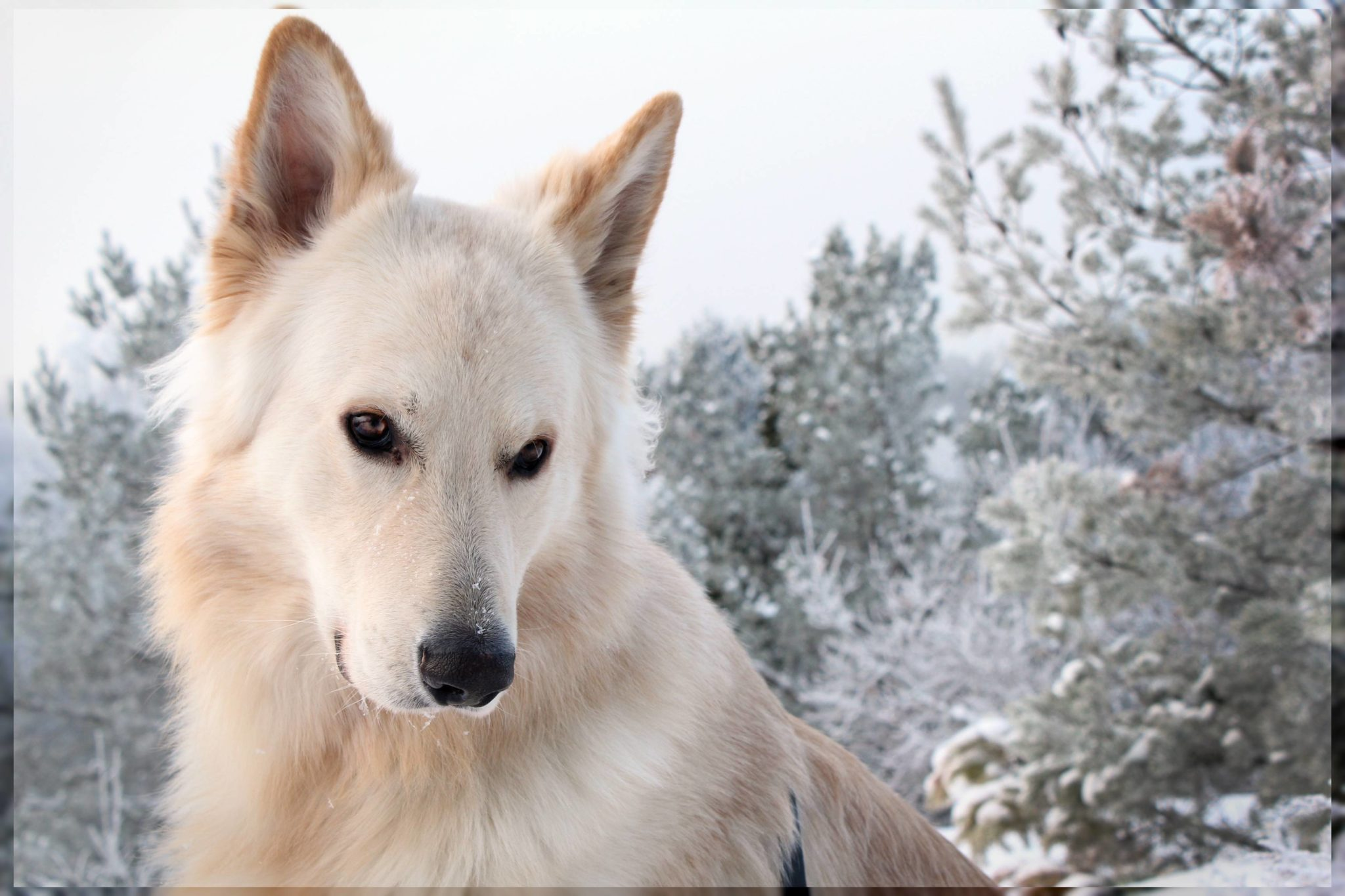white german shepherd Pictures of dogs