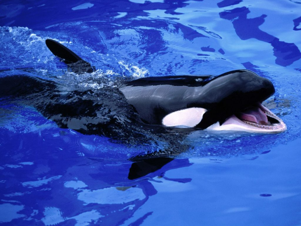 Feeding killer whale pictures