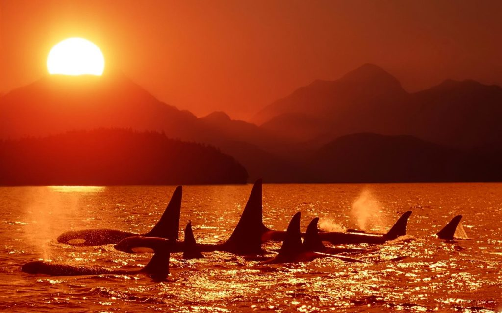 Evening killer whale pictures
