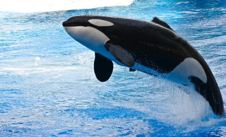 Jumping killer whale pictures