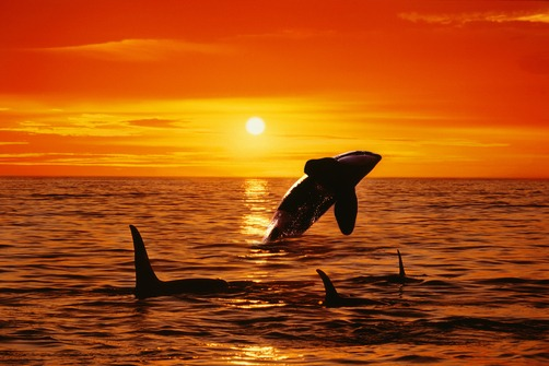 killer whale sunset pictures