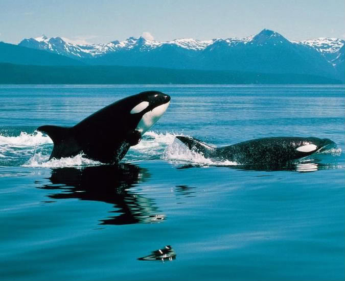 Swimming killer whale pictures