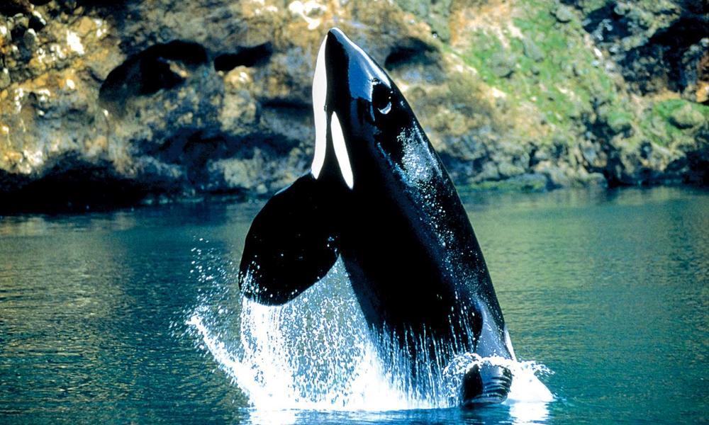 Alaska Killer Whale Pictures