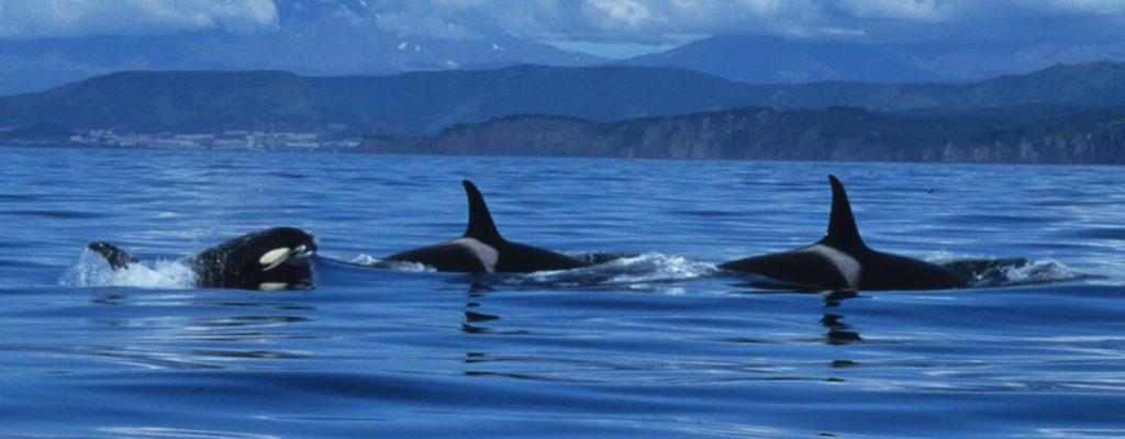family killer whale pictures