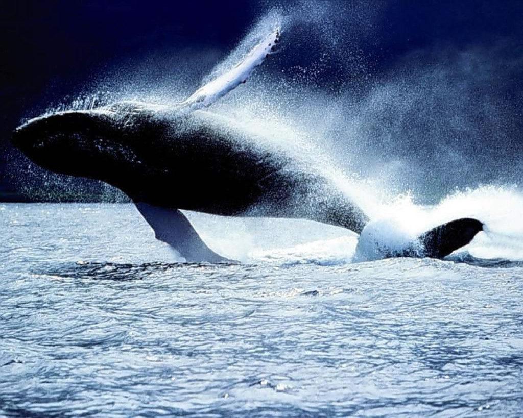 killer whale splashing