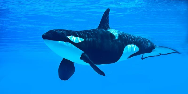 lovely killer whale pictures
